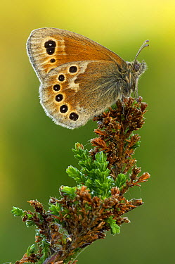 Common Ringlet (Coenonympha tullia) butterfly on heather, Morecambe Bay, Cumbria, England  -  Peter Entwistle/ FLPA