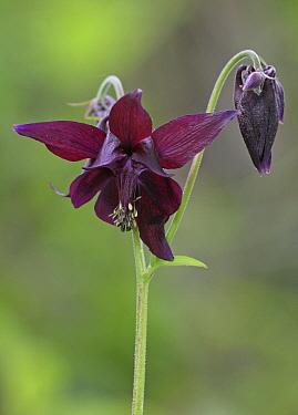 Dark Columbine (Aquilegia atrata) flower and flowerbud, France  -  Martin Withers/ FLPA