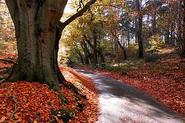 European Beech (Fagus sylvatica) trees and fallen autumn leaves beside path, Norfolk, England  -  David Burton Holt/ FLPA
