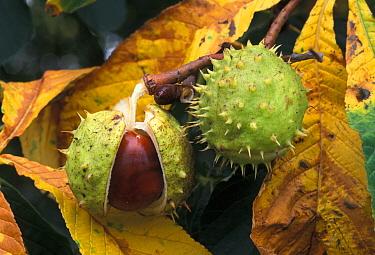 Horse Chestnut (Aesculus hippocastanum) seeds on tree, Europe  -  Derek Middleton/ FLPA