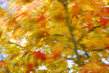 Maple (Acer sp) leaves blowing in strong wind  -  David Burton Holt/ FLPA