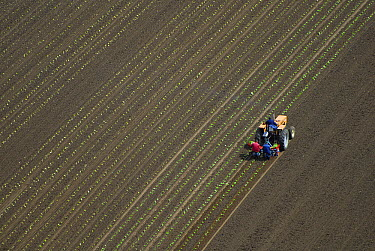 Tractor and workers hand planting seedlings, France  -  David Burton Holt/ FLPA