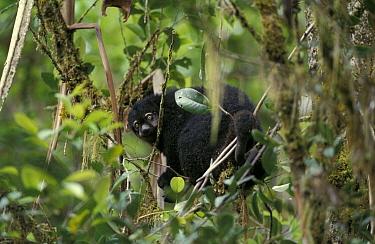 Bear Cuscus (Ailurops ursinus) in rainforest trees, Sulawesi, Indonesia  -  Solvin Zankl/ npl