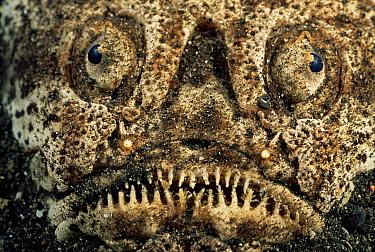 Whitemargin Stargazer (Uranoscopus sulphureus) lying buried in sand where it waits to ambush prey, Lembeh Strait, Sulawesi, Indonesia  -  Solvin Zankl/ npl
