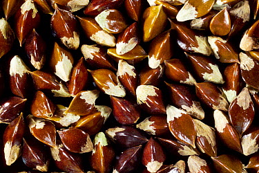 Common Bistort (Polygonum bistorta) seeds, Europe  -  Solvin Zankl/ npl
