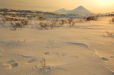 Brown Bear (Ursus arctos) tracks in snow, Southern Kamchatka Sanctuary, Russia  -  Igor Shpilenok/ npl