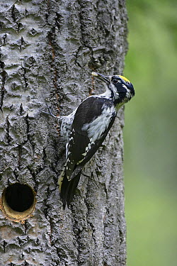 Three-toed Woodpecker (Picoides tridactylus) male on tree trunk with maggot prey, Finland  -  Markus Varesvuo/ npl