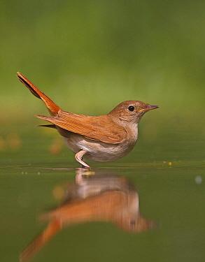 Nightingale (Luscinia megarhynchos) standing in water, Hungary  -  Markus Varesvuo/ npl