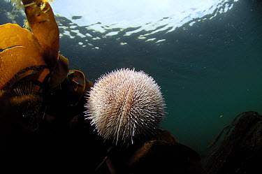 European Edible Sea Urchin (Echinus esculentus) with kelp, Mull, Scotland  -  Solvin Zankl/ npl