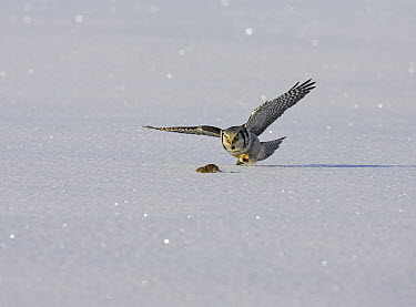 Northern Hawk Owl (Surnia ulula) hunting lemmings in the snow, Liminka, Finland  -  Markus Varesvuo/ npl