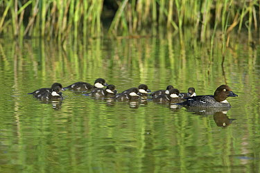 Common Goldeneye (Bucephala clangula) female in water with ducklings, Helsinki, Finland  -  Markus Varesvuo/ npl