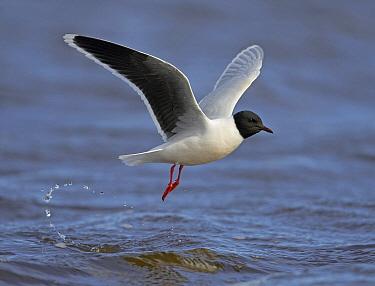 Little Gull (Hydrocoloeus minutus) taking flight, Finland  -  Markus Varesvuo/ npl