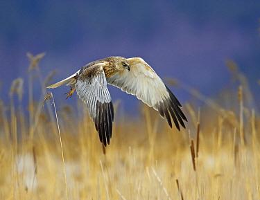 Western Marsh-Harrier (Circus aeruginosus) flying over reed bed, Porvoo, Finland  -  Markus Varesvuo/ npl