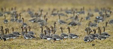 White-fronted Goose (Anser albifrons) flock in grass field, Latvia  -  Markus Varesvuo/ npl