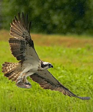 Osprey (Pandion haliaetus) carrying a fish it has just caught, Kangasala, Finland  -  Markus Varesvuo/ npl