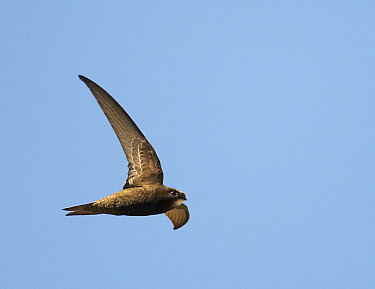 Common Swift (Apus apus) flying, Helsinki, Finland  -  Markus Varesvuo/ npl