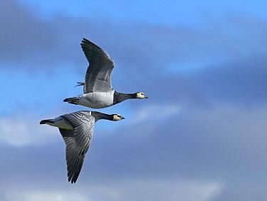 Barnacle Goose (Branta leucopsis) pair flying, Helsinki, Finland  -  Markus Varesvuo/ npl