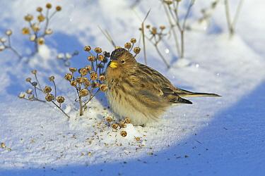 Twite (Acanthis flavirostris) in snow feeding on seeds, Helsinki, Finland  -  Markus Varesvuo/ npl