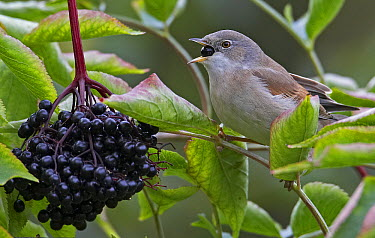 Common Whitethroat (Sylvia communis) feeding on Elderberries (Sambucus sp), Helsinki, Finland  -  Markus Varesvuo/ npl