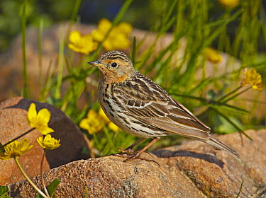 Red-throated Pipit (Anthus cervinus) amongst wildflowers, Norway  -  Markus Varesvuo/ npl