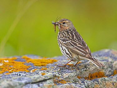 Red-throated Pipit (Anthus cervinus) carrying insect prey in beak, Norway  -  Markus Varesvuo/ npl