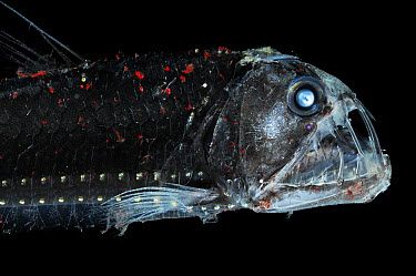 Viperfish (Chauliodus sloani) with chromatophores and bioluminescence, Atlantic Ocean  -  Solvin Zankl/ npl