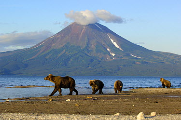 Brown Bear (Ursus arctos) with cubs walking beside lake with volcano in background, Kamchatka, Russia  -  Igor Shpilenok/ npl