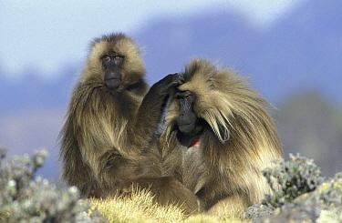 Gelada Baboon (Theropithecus gelada) female grooming male, Ethiopia  -  Ingo Arndt