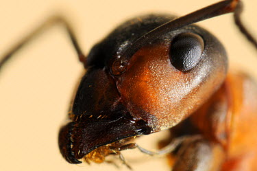 European Red Wood Ant (Formica polyctena) close up showing mandibles and composite eyes, Freiburg, Germany  -  Heidi & Hans-Juergen Koch