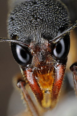 Ant (Harpegnathos sp), showing mandibles and composite eyes, native to southeast Asia  -  Heidi & Hans-Juergen Koch