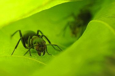 European Red Wood Ant (Formica polyctena) on a leaf, Freiburg, Germany  -  Heidi & Hans-Juergen Koch