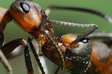 European Red Wood Ant (Formica polyctena) worker feeding another worker, Freiburg, Germany  -  Heidi & Hans-Juergen Koch