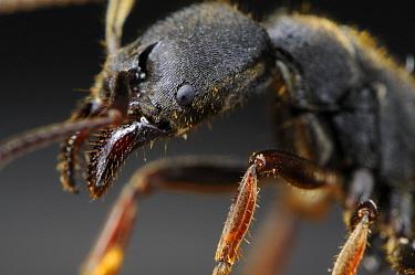 Ant (Odontoponera transversa), native to southeast Asia  -  Heidi & Hans-Juergen Koch