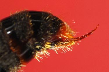 Ant (Odontoponera transversa) stinger, native to southeast Asia  -  Heidi & Hans-Juergen Koch