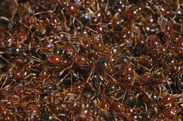 Red Imported Fire Ant (Solenopsis invicta) mass, introduced and invasive aggressive species, Switzerland  -  Heidi & Hans-Juergen Koch