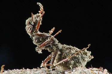 Ant (Formica selysi) infected with Sac Fungus (Metarhizium anisopliae), Switzerland  -  Heidi & Hans-Juergen Koch