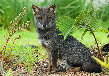 Darwin's Zorro (Lycalopex fulvipes) a critically endangered fox, Chiloe Island, Chile  -  Kevin Schafer