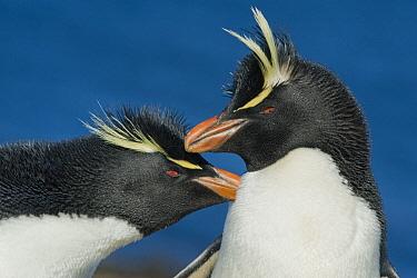 Rockhopper Penguin (Eudyptes chrysocome) pair courting, Falkland Islands  -  Kevin Schafer