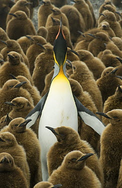 King Penguin (Aptenodytes patagonicus) displaying in creche of chicks, South Georgia Island  -  Kevin Schafer