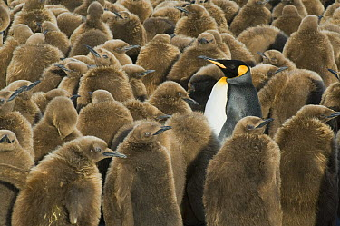 King Penguin (Aptenodytes patagonicus) in creche of chicks, Gold Harbour, South Georgia Island  -  Kevin Schafer