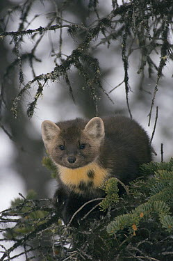 Pine Marten (Martes martes), native to Europe  -  Michael Quinton