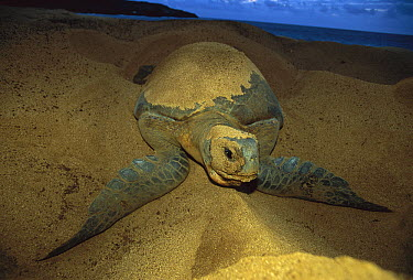 Green Sea Turtle (Chelonia mydas) female nesting on beach, Ascension Island, South Atlantic  -  Kevin Schafer