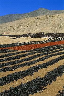 Drying peppers, coastal desert north of Lima, Peru  -  Kevin Schafer