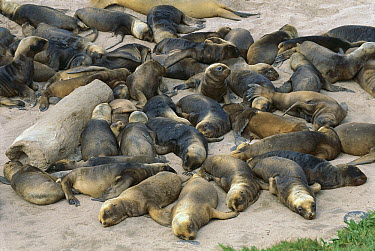 Hooker's Sea Lion (Phocarctos hookeri) group of young pups resting, New Zealand  -  Kevin Schafer