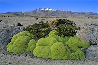 Yareta (Azorella compacta) cold-resistant cushion plant growing on altiplano, Peru  -  Kevin Schafer