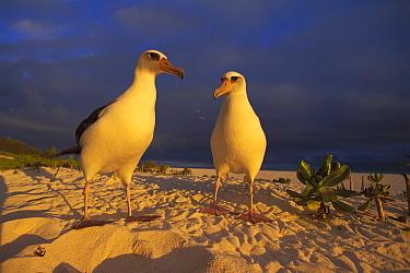 Laysan Albatross (Phoebastria immutabilis) pair on beach, Hawaii  -  Kevin Schafer