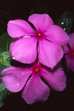 Rosy Periwinkle (Catharanthus roseus) leaves and flowers used for anti-cancer medicine, Madagascar  -  Kevin Schafer