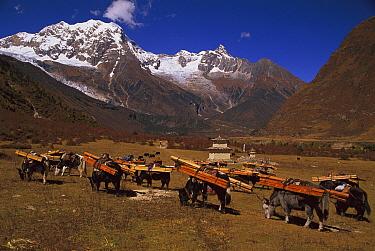 Yak (Bos grunniens mutus) caravan loaded with timber, Nepal  -  Colin Monteath/ Hedgehog House