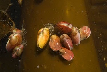 Green Crenella (Musculus discors) group attached to dying kelp stem, Alaska  -  Norbert Wu