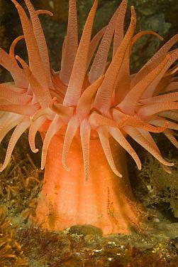 Clown Shrimp (Lebbeus grandimanus) and Kincaid Coastal Shrimp (Heptacarpus kincaidi) among stinging tentacles of Fernald Brooding Anemone (Cribrinopsis fernaldi), southeast Alaska  -  Norbert Wu